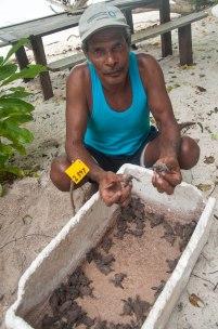 Tete Irisa, mengumpulkan tukik di wadah sebelum dilepas ke lautan pada malam hari