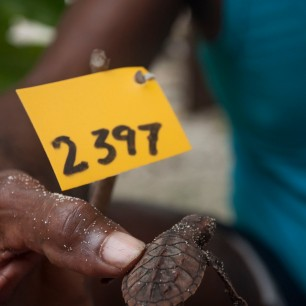 Tukik penyu sisik yang baru menetas dari sarang 2397