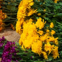 pile of fresh chrysanthemums