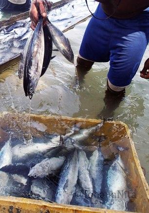 Nelayan Cakalang, menjual hasil tangkapan ke Perusahan Ikan. Perusahaan ini, memasok sejumlah permintaan dari dalam dan luar negeri