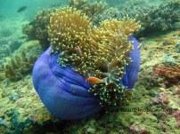 Soft Coral di Teluk Triton, Kaimana. CI_Edy Setyawan copy
