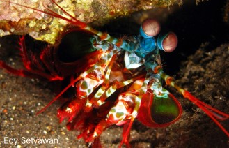 A smasher mantis shrimp came out from its burrow on fringing reef adjacent to US Liberty ship wreck in Tulamben, Bali at 6 m depth. The smashers use their raptorial claw to break their food, like clams. Mantis shrimps have good vision as their eyes have 16 photoreceptors to recognize preys and avoid predators.